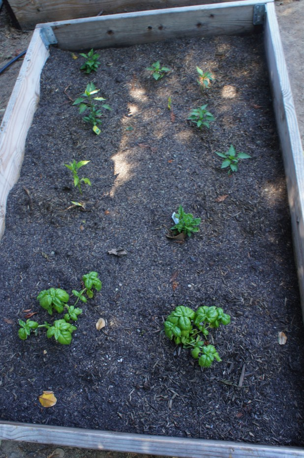 Basil and pepper plants
